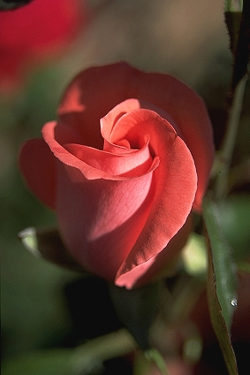 Edelrose_0413 by Leander Schiefer CC BY SA 3pt0 wiki